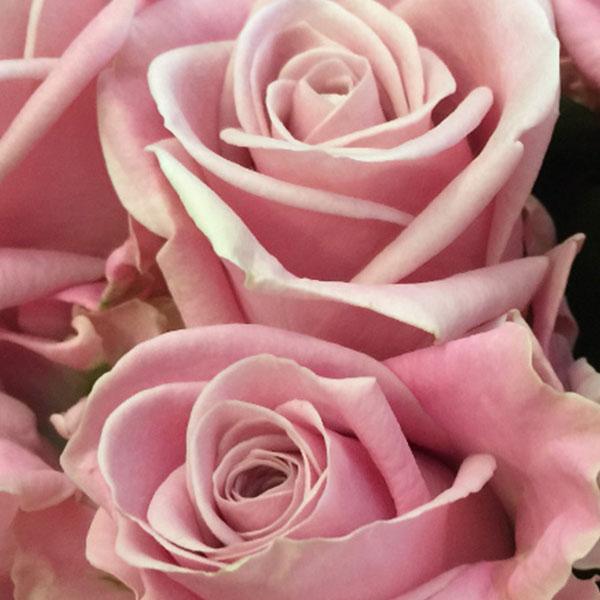 rose rosa - FIORERIA QUADRIFOGLIO VERONA