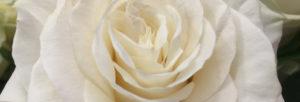 rose FIORERIA QUADRIFOGLIO VERONA