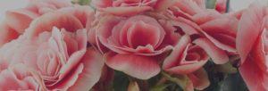 rosa bianche - FIORERIA QUADRIFOGLIO VERONA