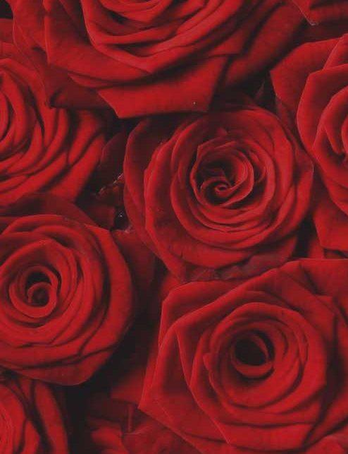 rose rosse - FIORERIA QUADRIFOGLIO VERONA